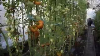 Мой огород. Урожай помидор в теплице(Какой мы получили результат от выращенной нами рассады томатов в теплице., 2016-08-15T21:29:49.000Z)
