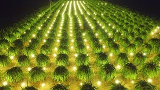 Amazing Agriculture Technology- Dragon fruit  future agriculture