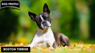 Boston Terrier Dog  The American Gentleman