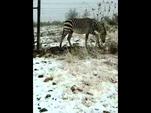 Snow in Namibia - Zebra grazing in snowed pasture