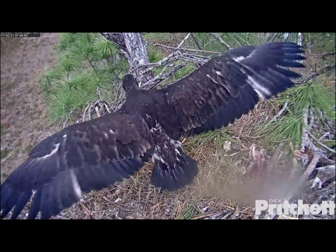 SWFL Eagles ~ E9 Wingersizing; Swallows Opossum Tail 2.21.17