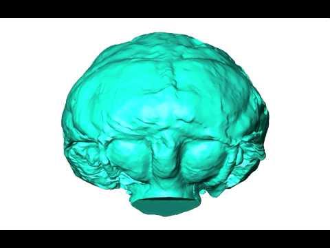 Imaging the earliest Old World monkey brain {Duke University Research}