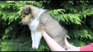 Seven Weeks Old Collie Puppies