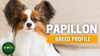 Papillon Dogs 101  An Artist's Favorite Portrait Dog