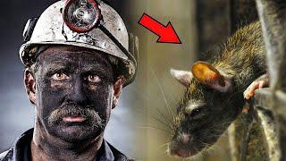 Шахтер каждый день угощал едой крысу, и однажды она спасла ему жизнь!