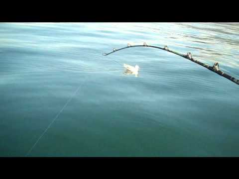 Halibut fishing in homer alaska youtube for Halibut fishing homer alaska
