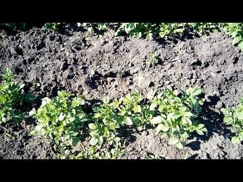 видео: Прополка и окучивание картофеля мотоблоком!