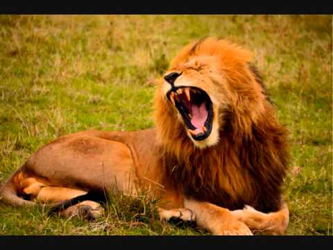 lion roar - Sound effects - YouTube - photo#4