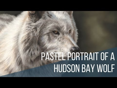 Pastel portrait of a Hudson Bay wolf. Time lapse video.