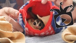All about Sugar Gliders