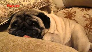 Dog Pug snores!