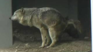 Eestern timber wolf シンリンオオカミ キナコ 出産日の様子2 thumbnail