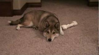 Shiba Inu/ Husky mix gets a treat