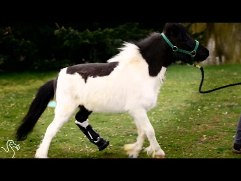 People Build Mini Horse A New Leg So He Can Run Again