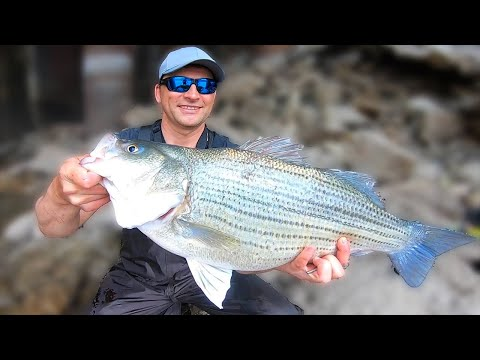 10# HYBRID Striped Bass Fishing On The IOWA RIVER.  Personal Best Wiper.