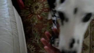 Positive Dog Training - Dalmatian Service Dog Training
