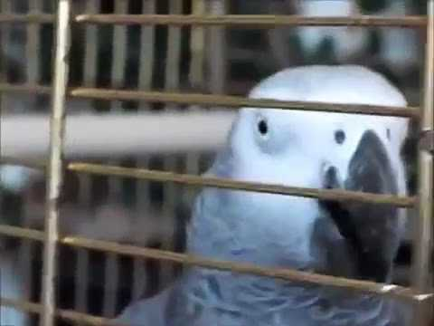 32 The African Grey Ruby The Swearing Parrot X Rated