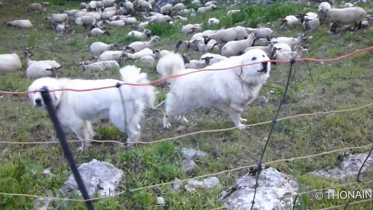 PATOU - chien de troupeau protection contre le loup - YouTube