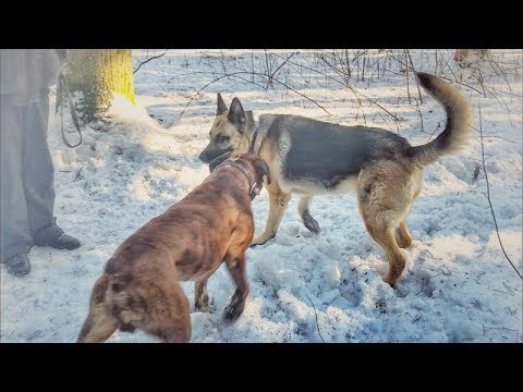 Boxer vs shepherd.Боксёр и Восточно-европейская овчарка