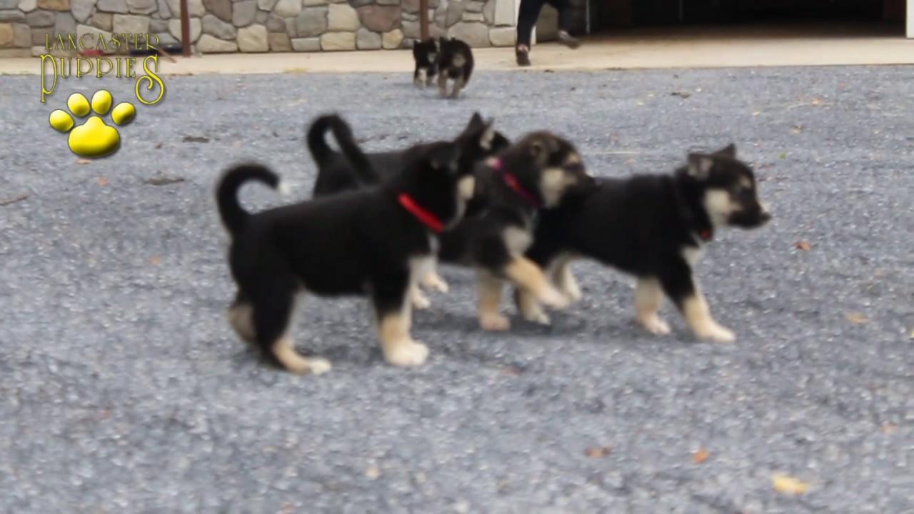 German Shepherd Siberian Husky Puppies Youtube