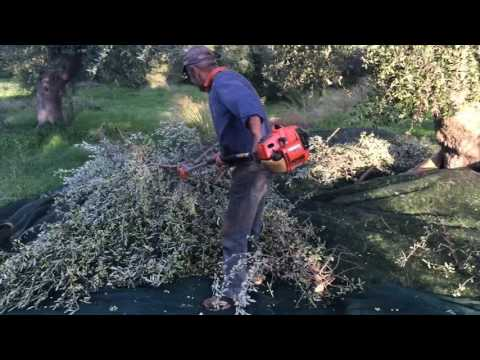 Greek Extra Virgin Olive Oil - Harvesting the olives from the trees (Part 3)   Ken Panagopoulos