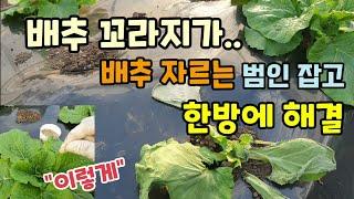 김장배추 자르는 범인벌레 잡고 이렇게 하면 한방에 해결…