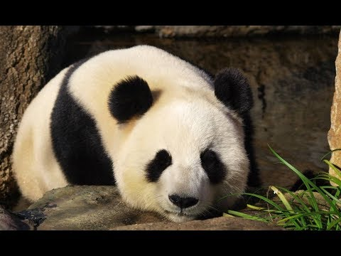 Cuddly envoys overseas: Giant pandas in Mexico City