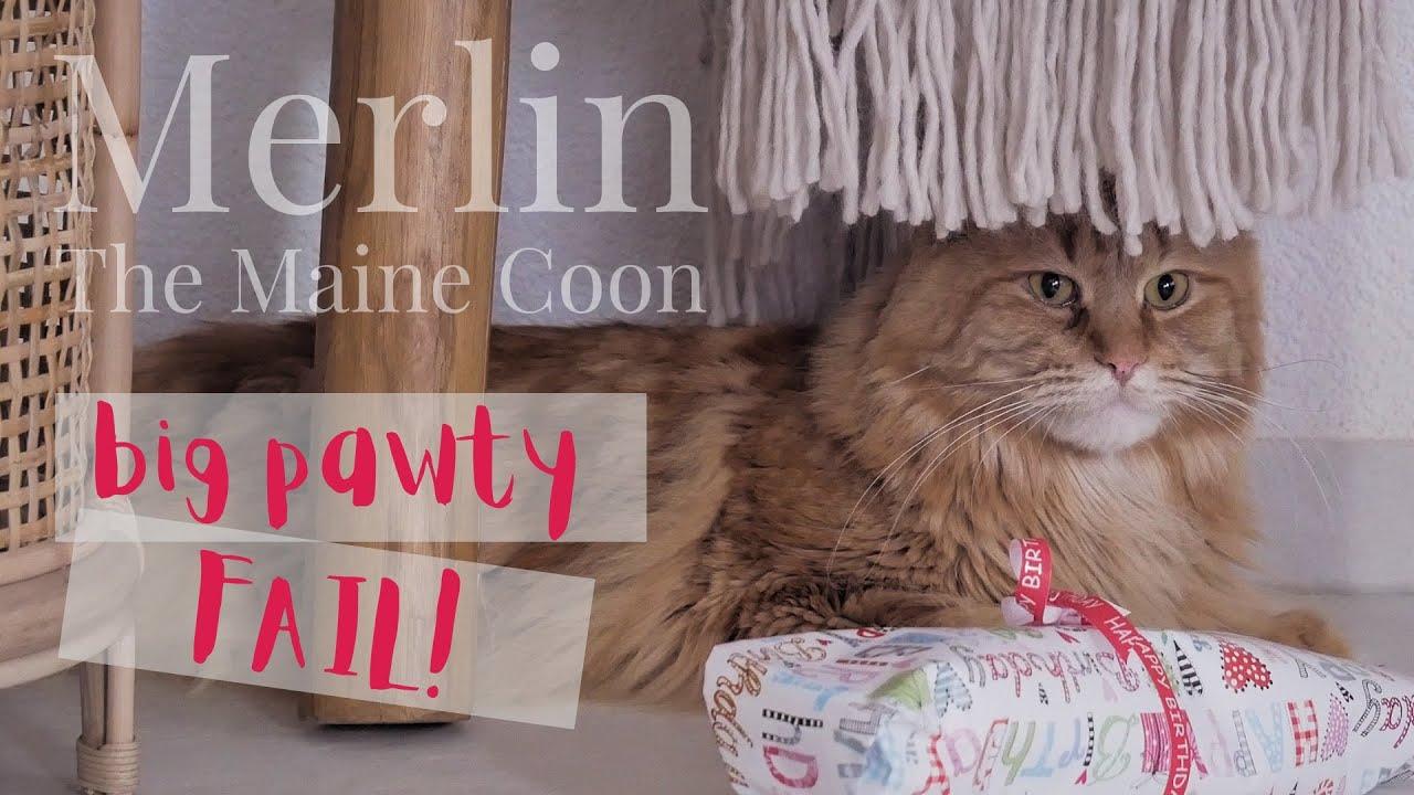 Merlin the Maine Coon - Big Pawty FAIL!
