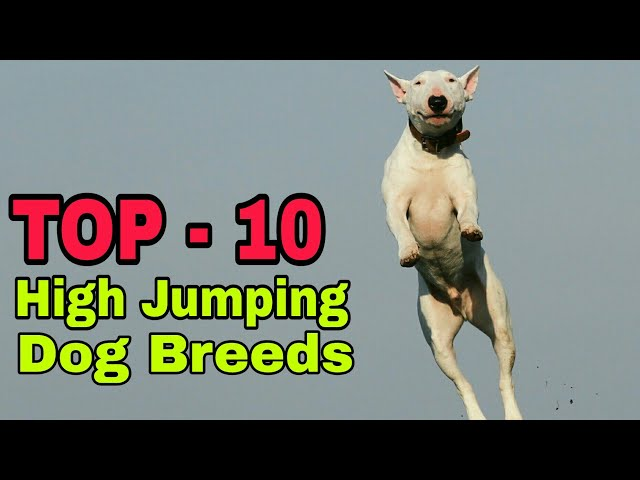 TOP- 10  High Jumping Dog Breed In The World / Do You Know / Aryan Dog Club  Aryandogclub