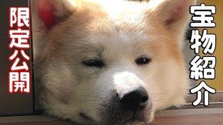 grandchild and German Shepherd dog 秋田犬そうすけ君おもちゃを大事に...