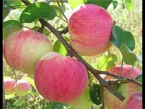 Вопрос: Какой сорт яблок стоит посадить, что бы урожай был в уже в конце июля?