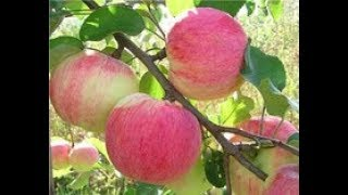 видео Осенние сорта яблони
