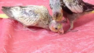 Как долго будут обрастать общипанные птенцы? Стоит ли волноваться? Разведение корелл. АСМР/ASMR