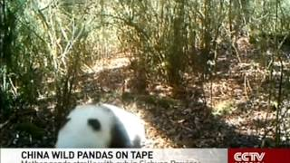 Mother panda strolls with her cute cub in China