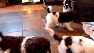 5 week old standard poodle puppies in the kitchen!
