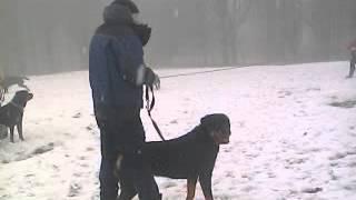14, Group Rottweiler Meeting Walk In The Snow, 18 Jan 2015, Uk