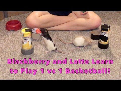 Rat Basketball: Blackberry vs Latte (1st Attempt at 1 on 1!)