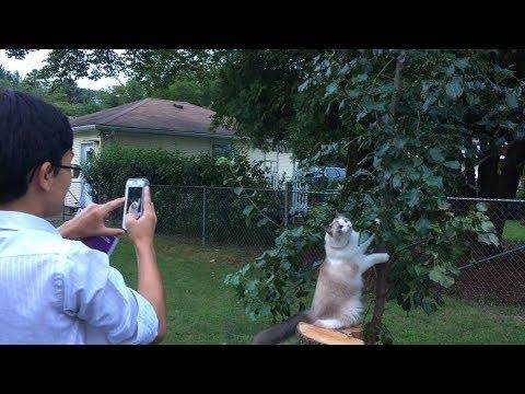OMG! Our Ragdoll Cat Princess Bella-Ayesha Morgana Chased A Raccoon Up The Tree
