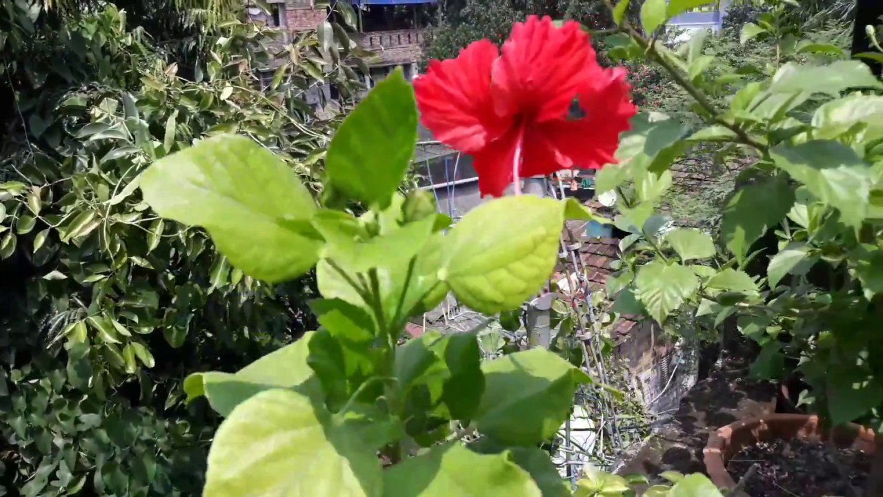 How To Care Hibiscus How To Protect From Mili Bugs Youtube