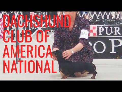 Dachshund Club of America 2019 'Oolong'