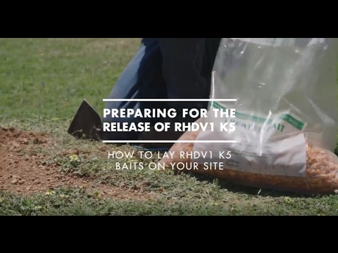 How To Lay RHDV (rabbit Virus) Baits On Your Site