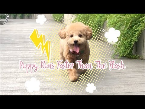 Cute Toy Poodle Puppy Runs Faster Than The Flash