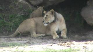 Lioness and lion cubs at Tarangire National Park, Tanzania, November 19, 2011: 2/6