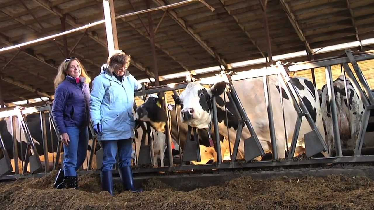 Dairy farming essay