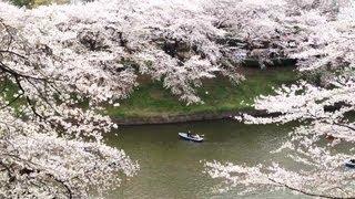 Sakura, Cherry Blossoms, in Tokyo 2013 [iPhone 4S/HD]
