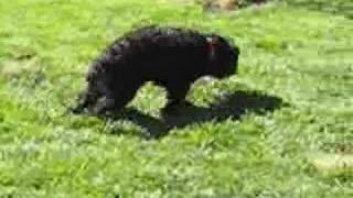Kola The Toy Poodle