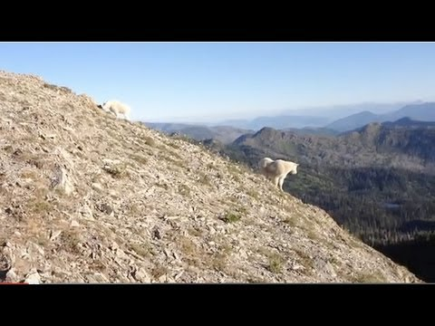 Sneaking Up On Wildlife- Mountain Goats in Montana- Jewel Basin Panorama