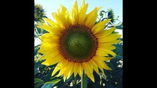 #GrowexЧелендж.Чому ми купуємо Соняшник?