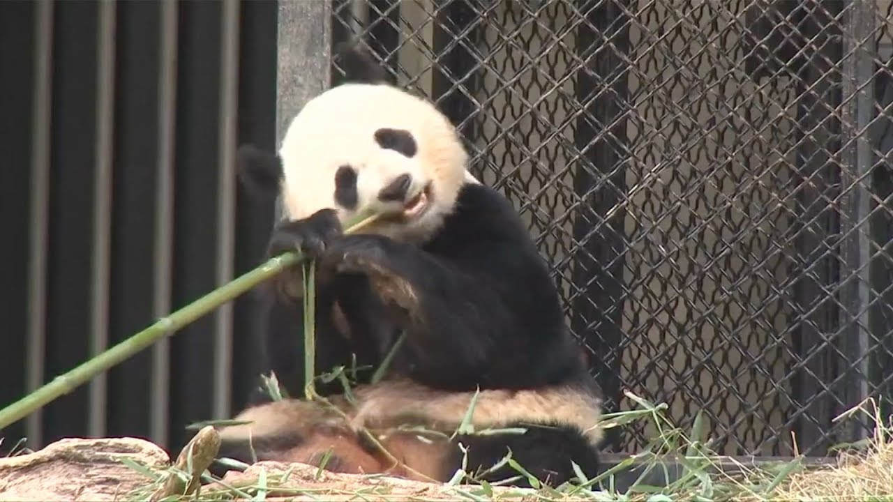 National Zoo's giant panda artificially inseminated