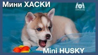 Аляскинский кли кай, klee kai, щенки мини хаски
